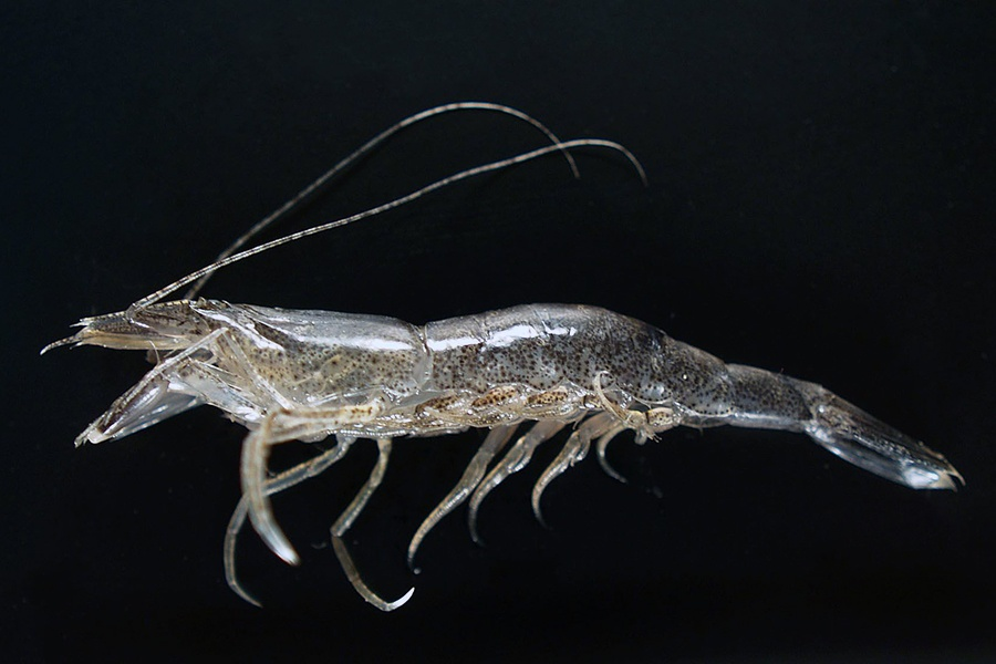 Thêm một loài tôm tiềm năng cho nuôi trồng thủy sản