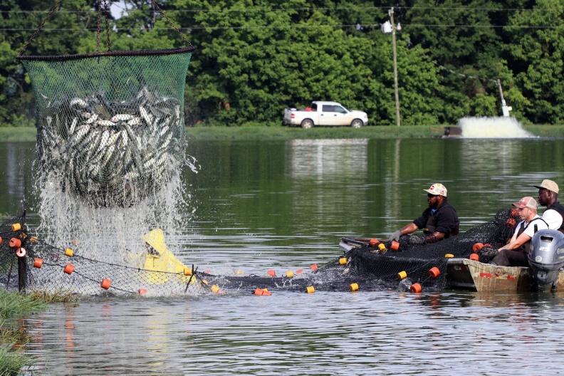 Thách thức của tình trạng thừa cung đối với người nuôi cá da trơn Mỹ