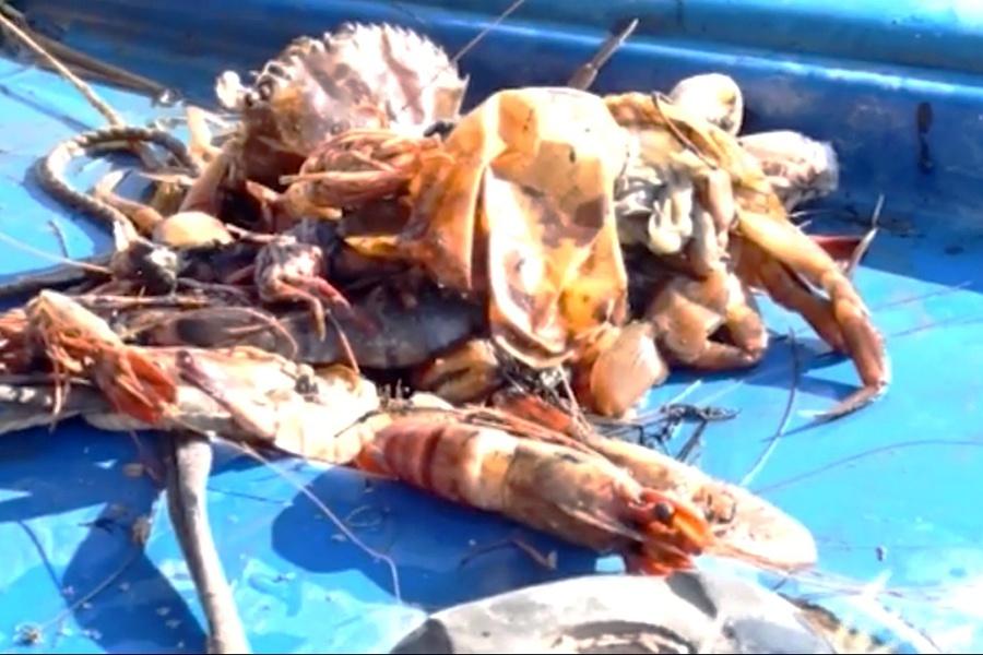 Kiên Giang: Hơn 1.500 ha tôm nuôi chết do thời tiết bất lợi