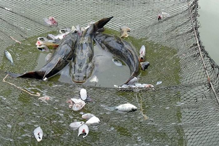 Người cựu chiến binh Cà Mau nuôi cá bống làm giàu