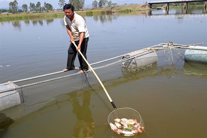 Quảng Nam: Cá lồng bè chết liên tục, người nuôi thiệt hại nặng