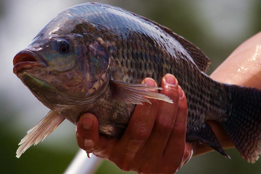 Bổ sung tinh dầu bạc hà giúp tăng tỷ lệ sống của cá rô phi