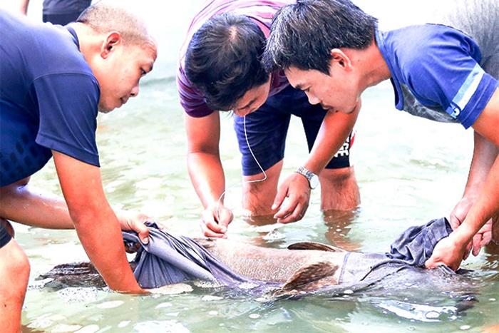 Nghiên cứu về cá song vua: giải quyết khó khăn về con giống
