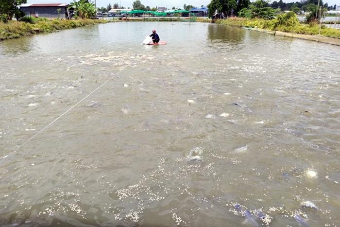 Đồng Tháp: Giá cá tra giảm còn 23.000đ/kg