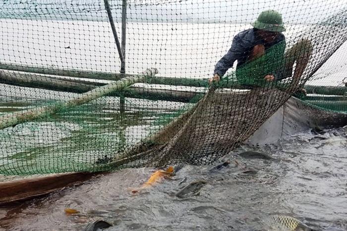 Làm lồng bè, nuôi cá chép giòn trên sông Lam