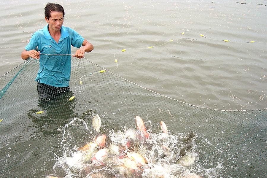 Thách thức khi giá thành nuôi thủy sản tăng