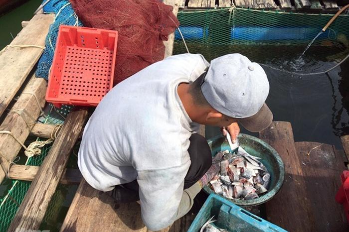 cá bớp, nuôi cá bớp, nghề nuôi cá bớp, nuôi cá