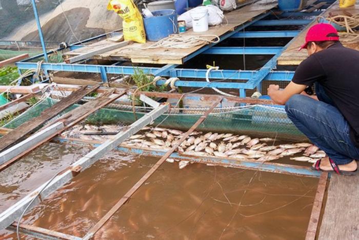 Cá bè trên sông Tiền chết bất thường