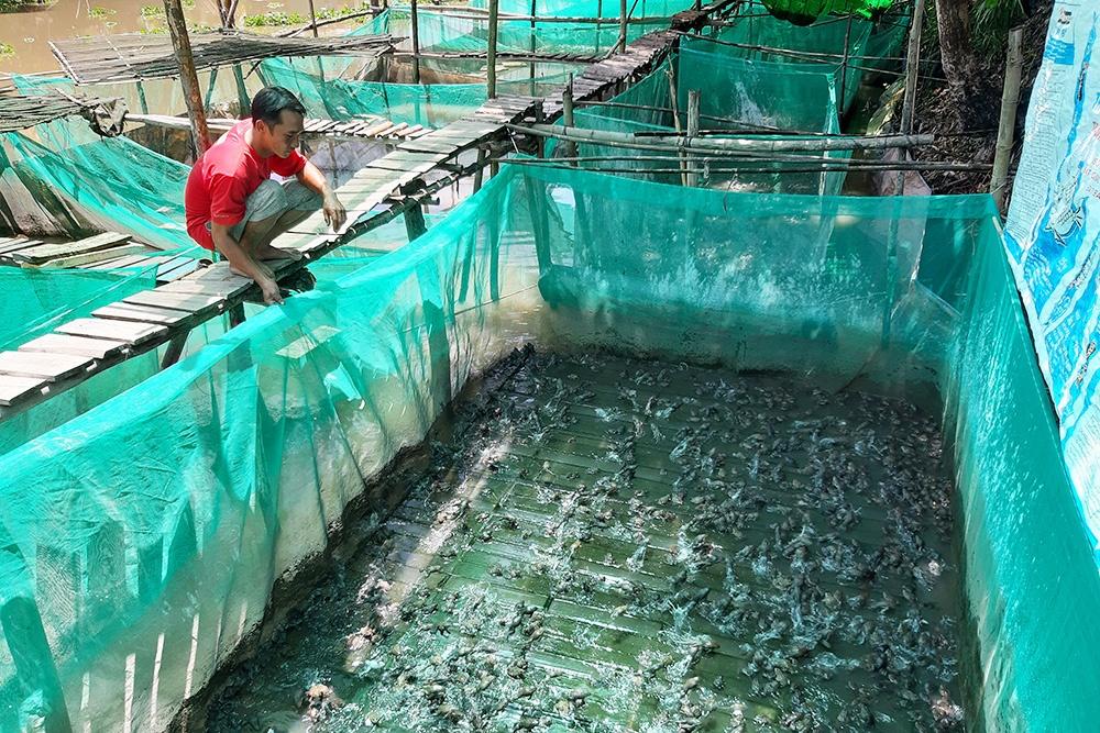 Hiệu quả nuôi ếch Đài Loan trong mùng lưới