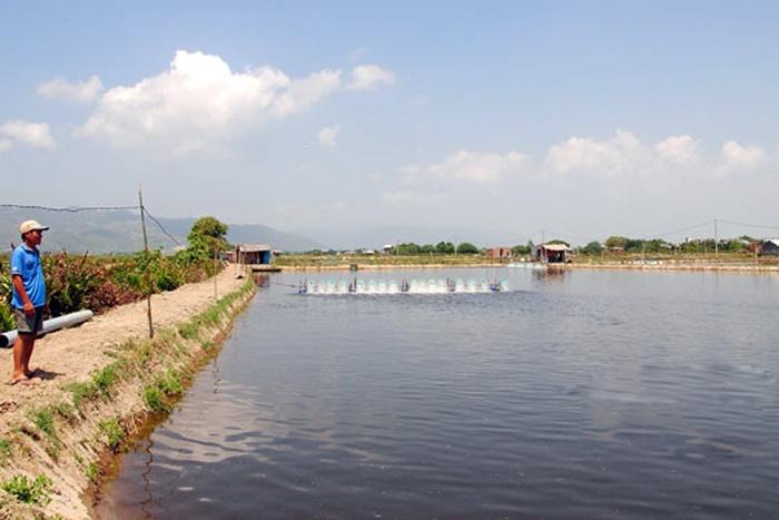 Bình Định: Tôm nuôi được mùa, rớt giá