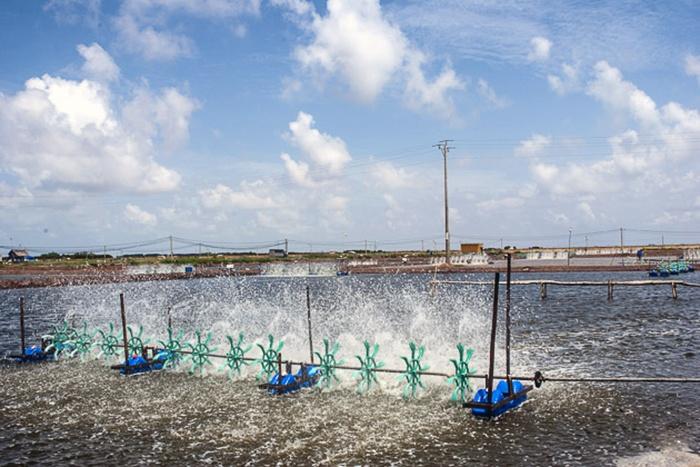 Vĩnh Châu thả nuôi hơn 7.600ha tôm nước lợ