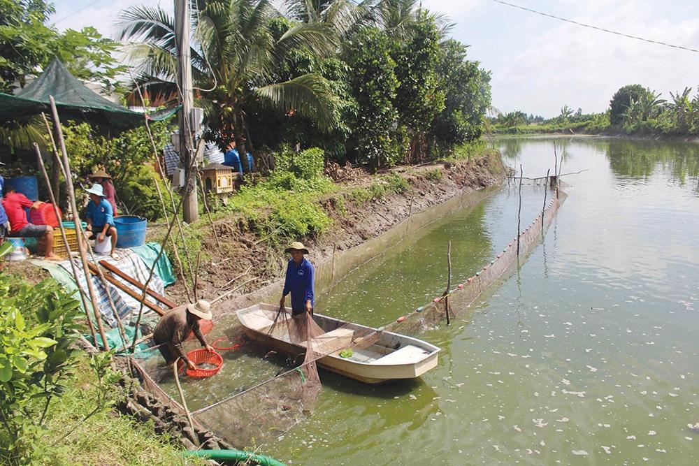 Giá cá tra giống xấp xỉ giá thành, người nuôi thua lỗ