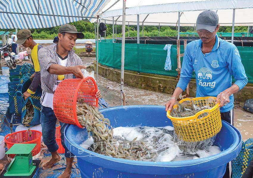 Liên kết chuỗi ngành tôm trong thời hội nhập