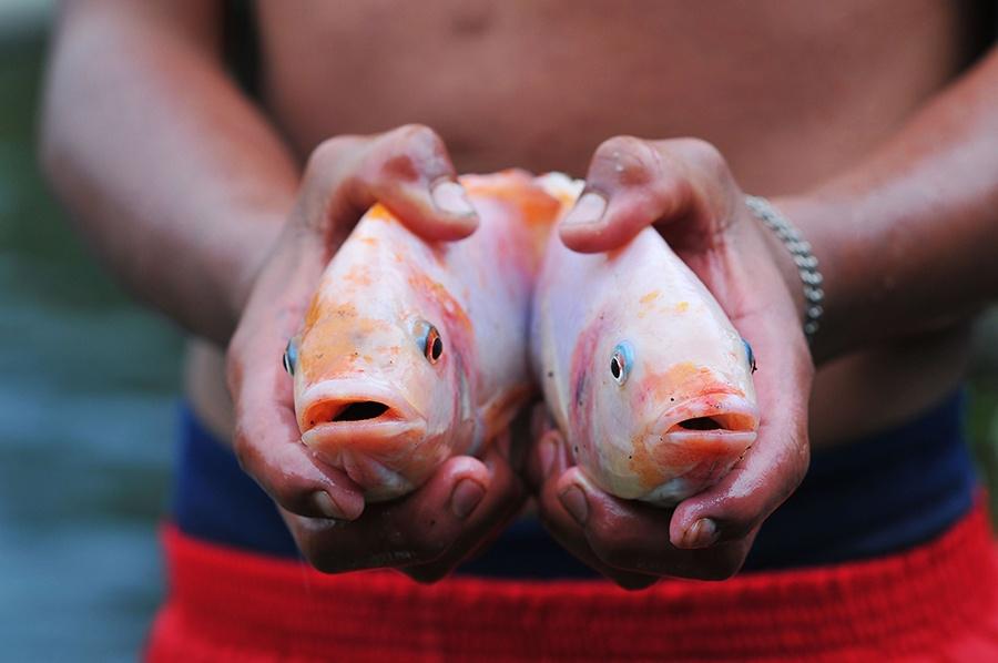 Tối ưu hóa hệ số chuyển đổi thức ăn trong nuôi cá rô phi – diêu hồng