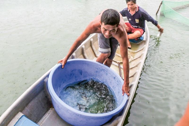 Cần Thơ: Cá giống khan hàng, giá tăng cao