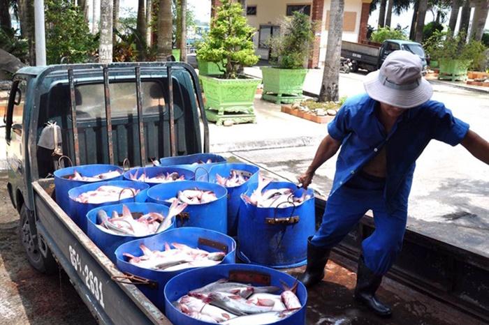 Cần Thơ: Lúa, cá vẫn rớt giá