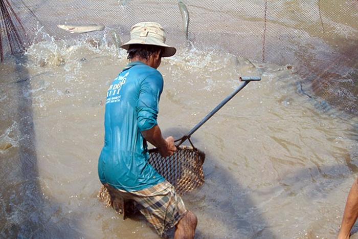 Giá cá lóc nuôi ổn định ở mức cao