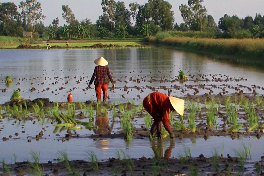 Cà Mau: Khởi động vụ lúa trên đất nuôi tôm