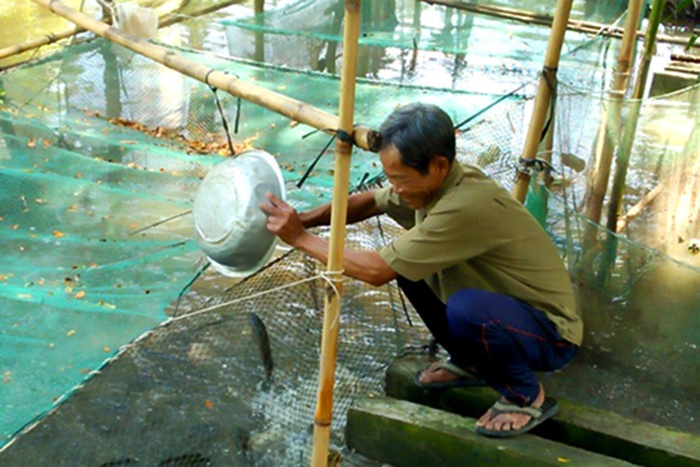Người nuôi cá lóc lãi 8-10 triệu đồng/vèo