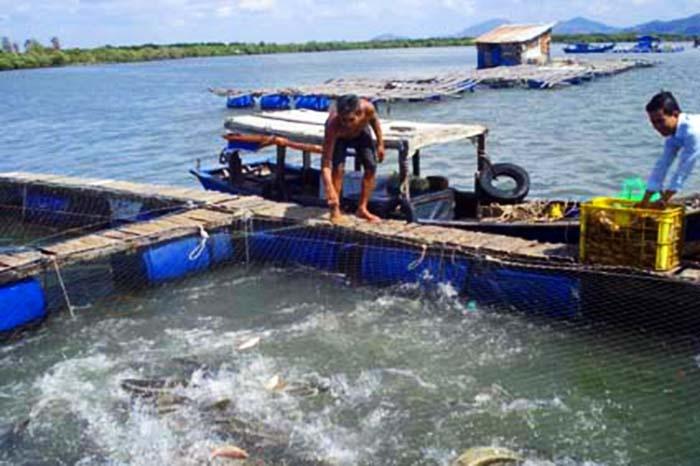 Hải Dương: Phát triển nhanh nuôi cá lồng trên sông