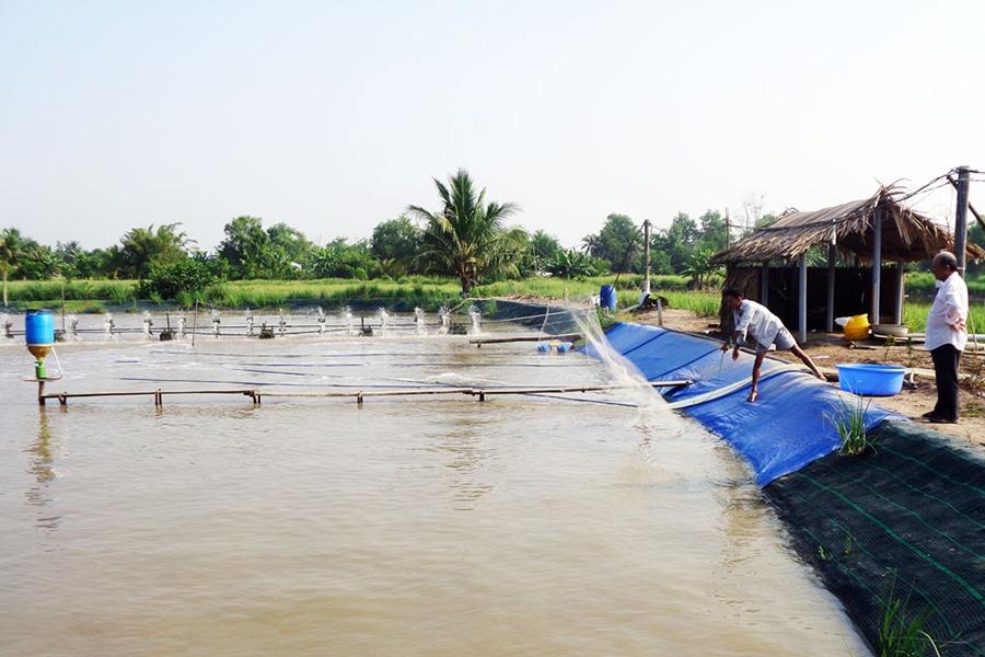 Giá tôm giảm thấp, nông dân thận trọng nuôi vụ mới