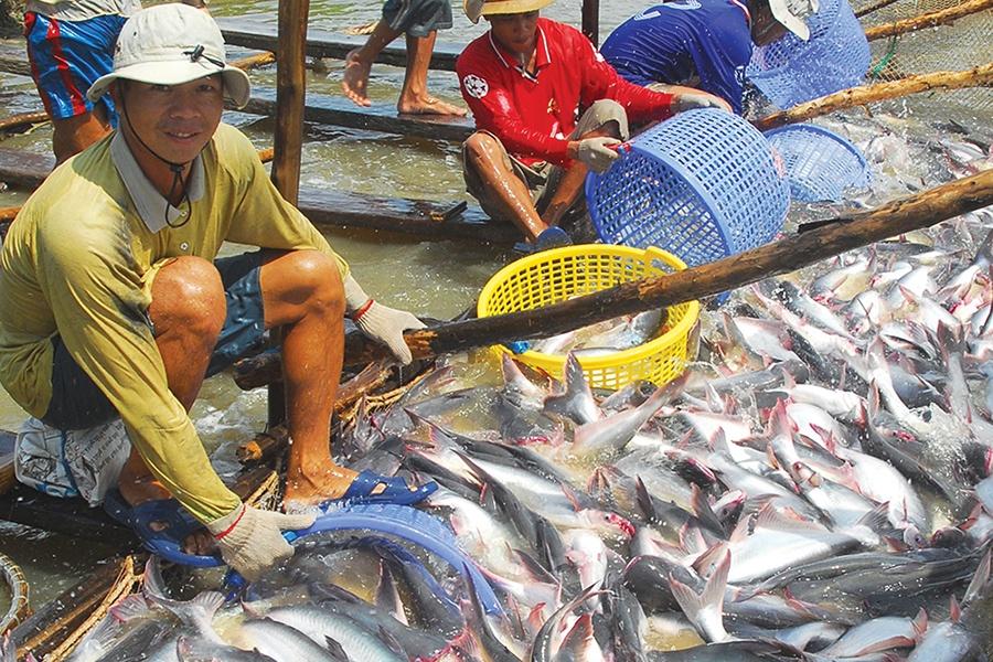 """Nguy cơ """"mất kiểm soát"""" của ngành hàng cá tra"""
