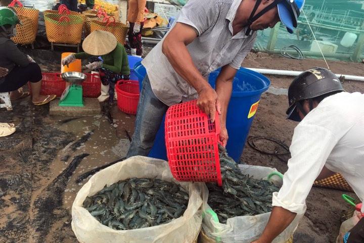 Nông dân Trà Vinh tất bật vào vụ thu hoạch tôm