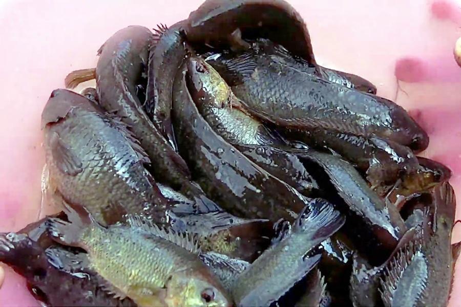 Chế độ dinh dưỡng thích hợp cho cá rô đồng