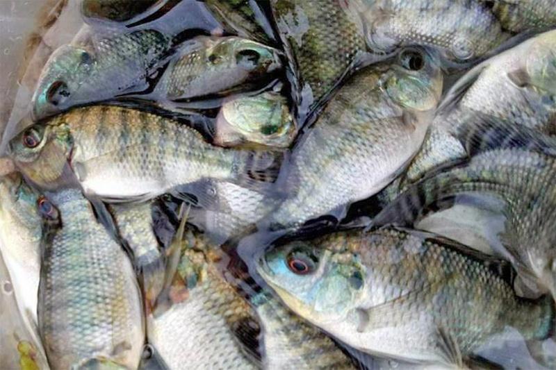 Phòng và trị một số bệnh trên cá rô phi nuôi theo tiêu chuẩn VietGAP
