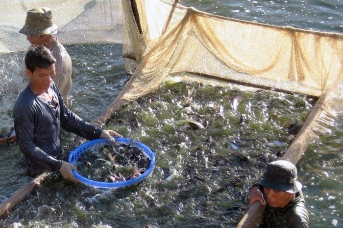Cấp mã số nhận diện ao nuôi cá tra đạt gần 100% diện tích