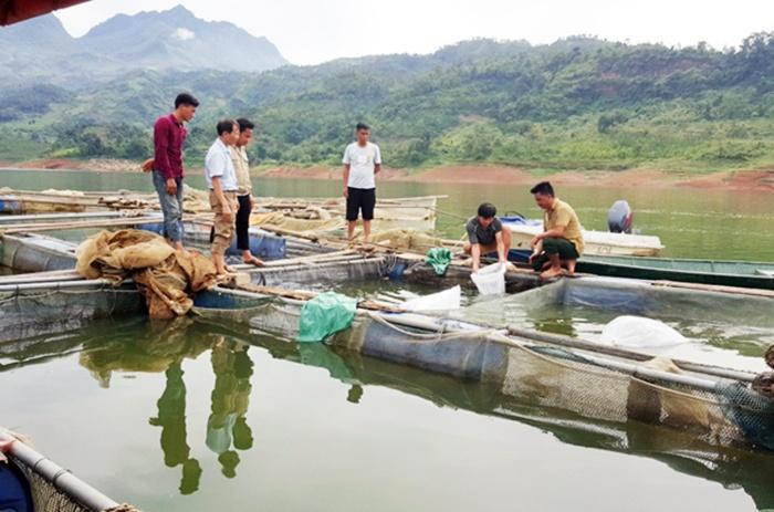 Hiệu quả mô hình nuôi cá tầm trong lồng bè ở Lào Cai