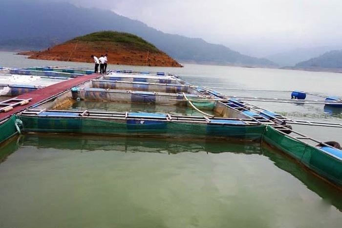 Hướng đi mới cho nghề nuôi cá lồng ở huyện Thường Xuân