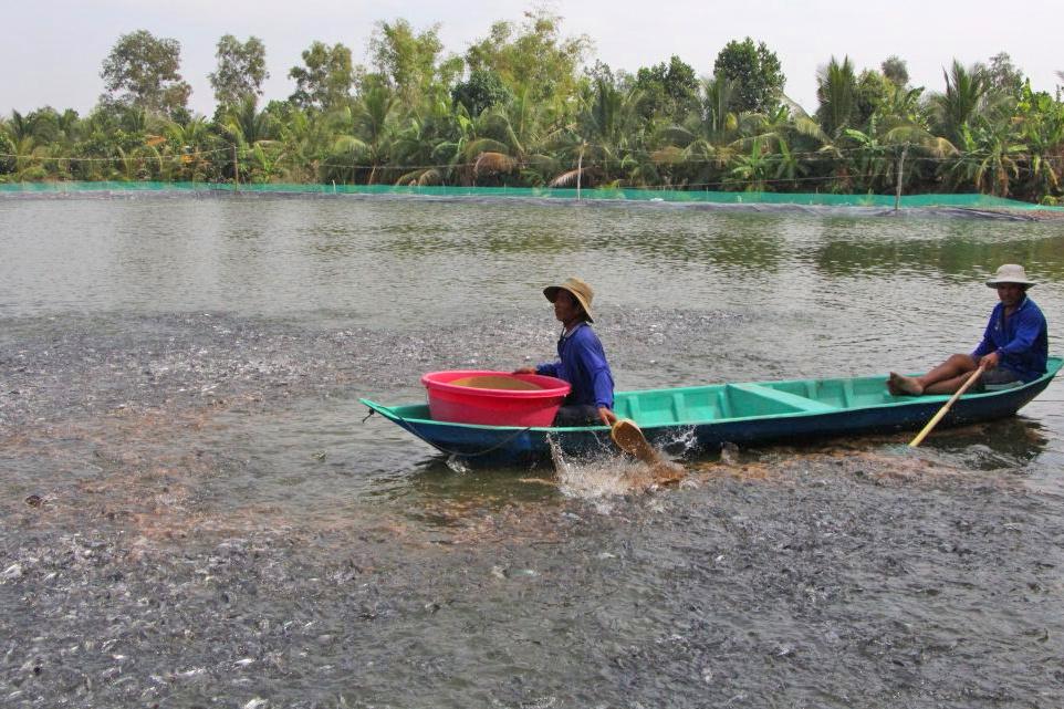Diện tích nuôi cá tra giống Long An chiếm hơn 50% vùng ĐBSCL