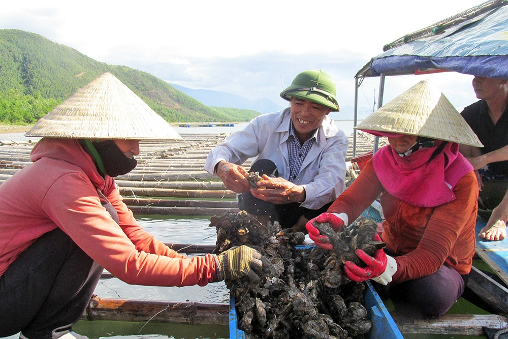 Hà Tĩnh: Nuôi hàu dưới chân núi Cầu Vọng