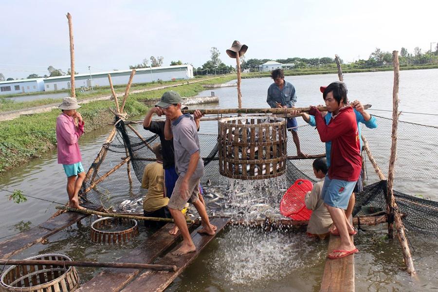 Bao giờ ngành cá tra giải quyết được những bất cập