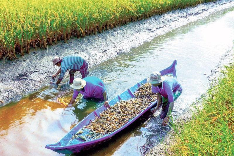 Hiệu quả sản xuất tôm - lúa hữu cơ