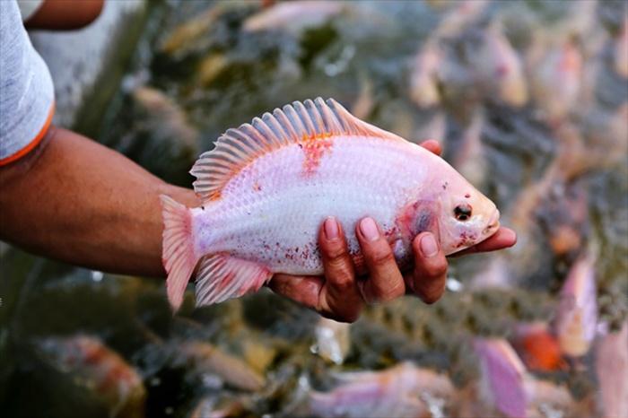 Sodium bicarbonate - thuốc gây mê an toàn cho cá Điêu hồng