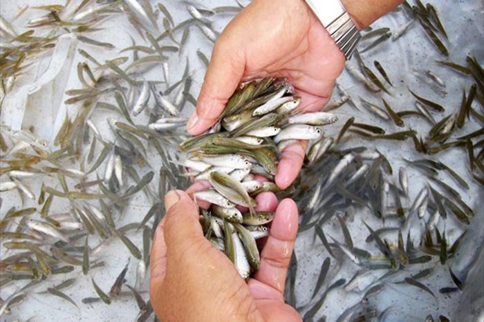 ĐBSCL: Giá cá linh non giảm mạnh