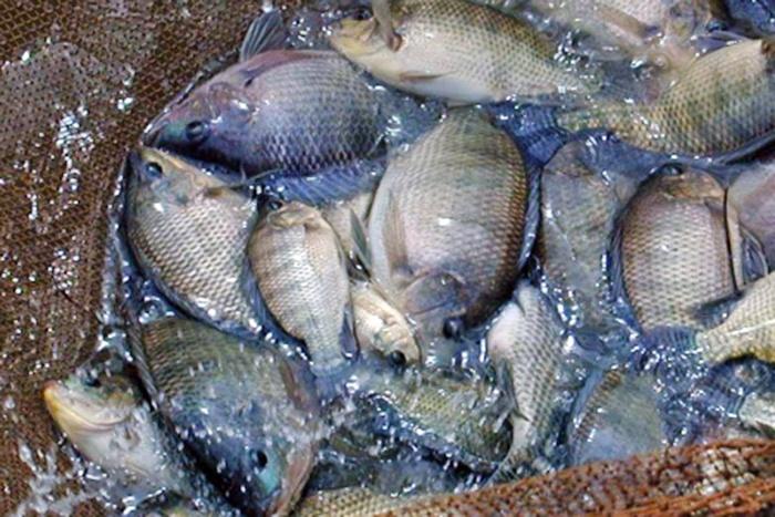 Kinh nghiệm nuôi cá rô phi thành công ở Philippines