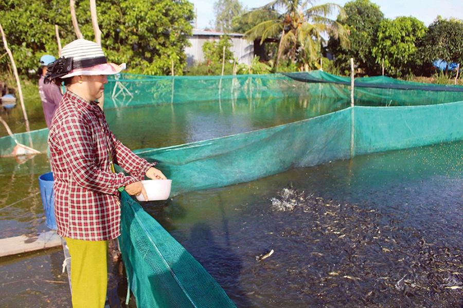Nông dân nuôi cá lóc, cá sặc bổi thắng đậm
