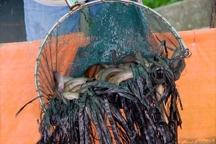 Ăn nên làm ra nhờ nuôi lươn không bùn