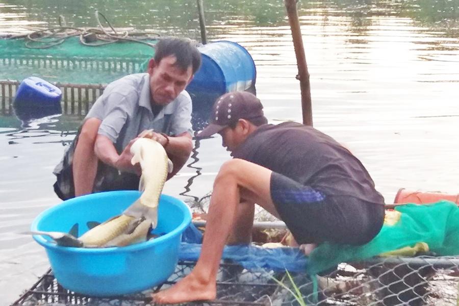 Quảng Điền thu hoạch cá nước ngọt tránh lũ