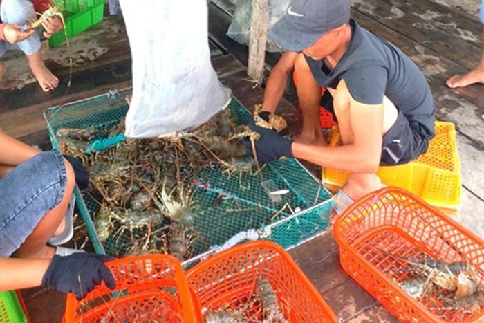 Lao đao khi việc nuôi và xuất khẩu tôm hùm buộc phải thay đổi