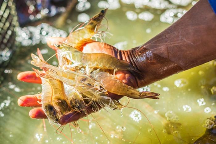 Hướng dẫn sử dụng men vi sinh trong nuôi tôm cá
