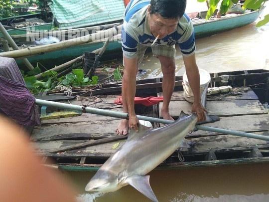 Ngư dân miền Tây bắt được cá mập nước ngọt nặng 20 kg