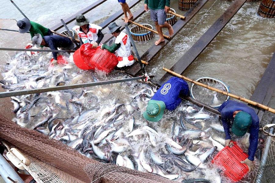 Thu hoạch cá tra
