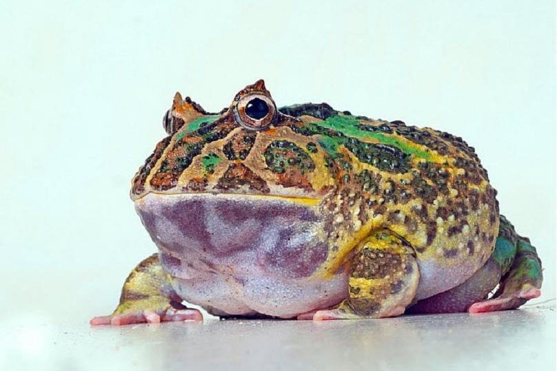 ếch sừng Argentina