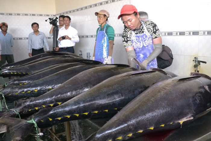 Cá ngừ xuất khẩu.