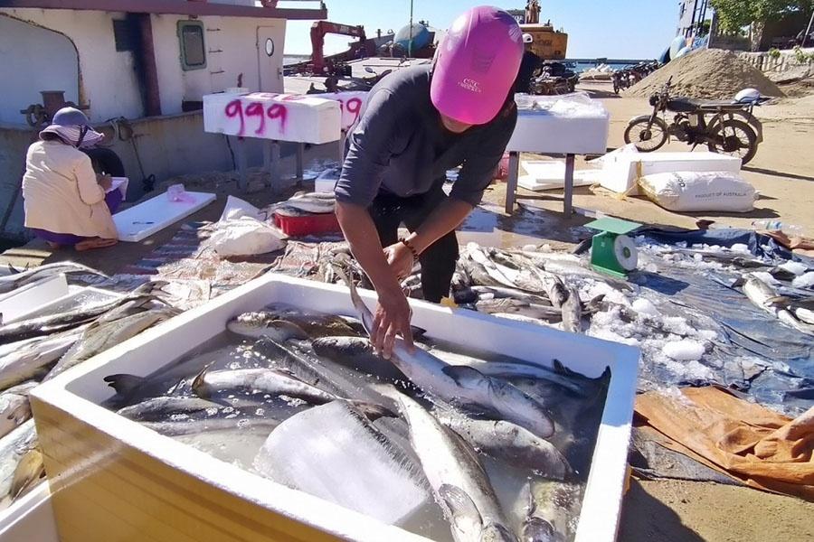 Cá bớp Lý Sơn