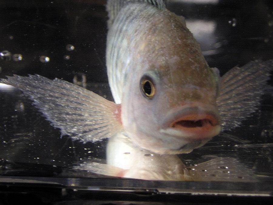 cá rô phi bị đốm trắng